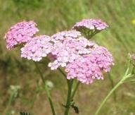 Achillea_millefolium(7)