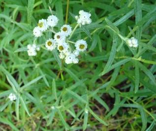 Anaphalis_margaritacea(3)