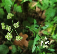 Parsley_ (3)