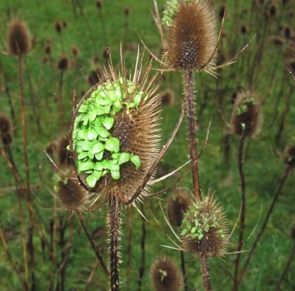 Dipsacum fullanum(1)