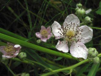 Rubus(1)