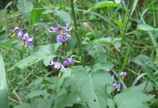 Solanum_dulcamara(6)